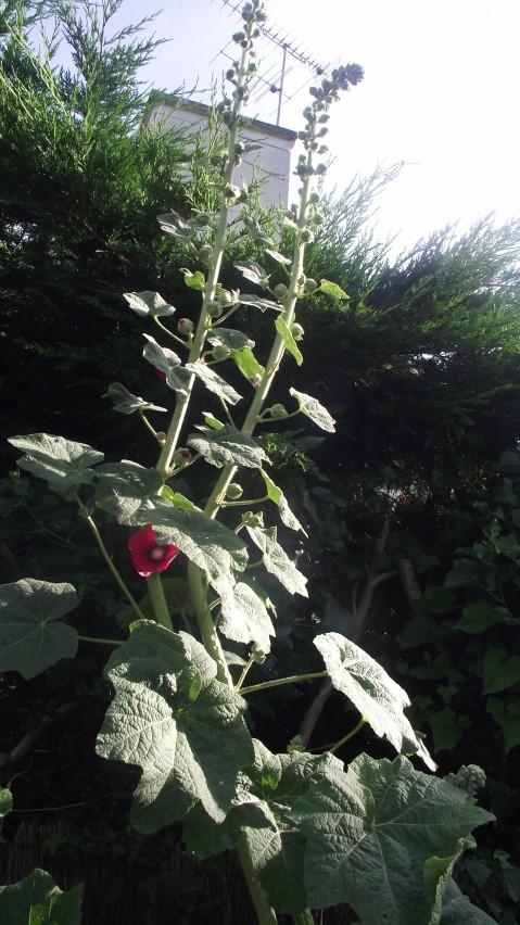 Rose trémière, Rose à bâton