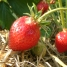 fraise_